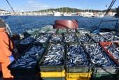 Bez obzira na zabranu ribolova - jadranska srdela ipak u ponudi za blagdane
